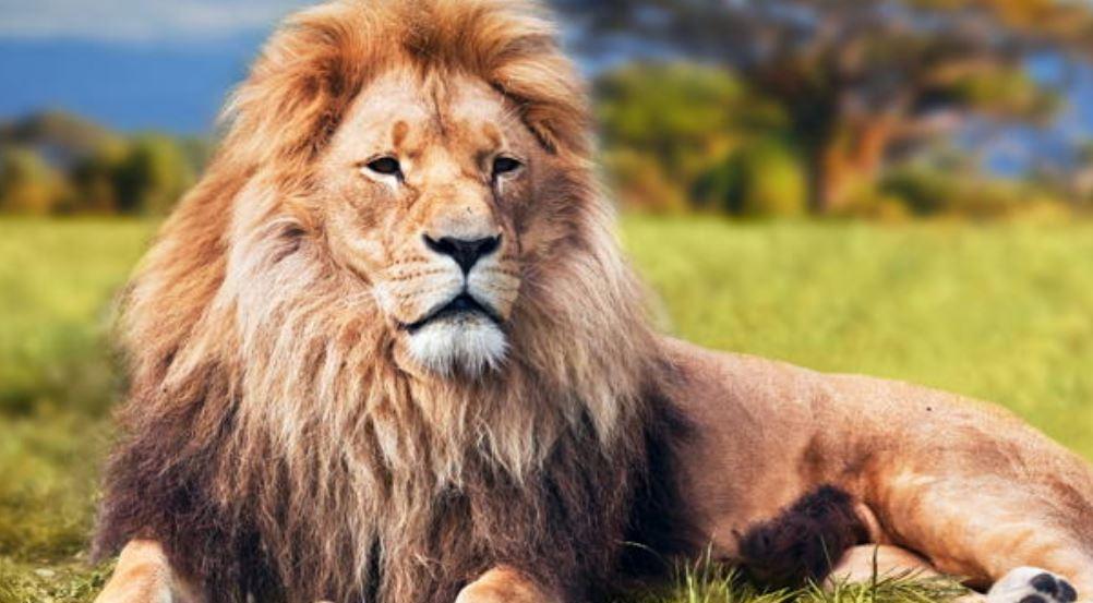 Dromen over leeuwen: Droom betekenis, Symbolen