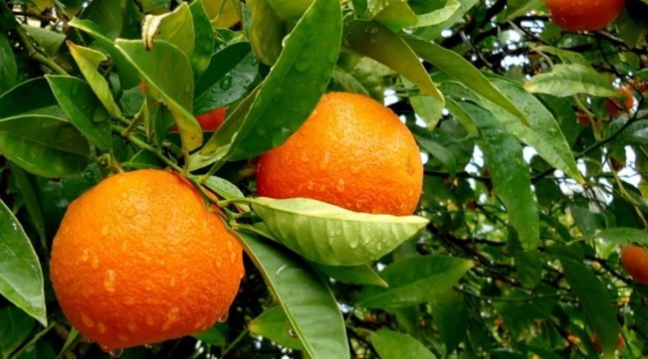 oranje, sinaasappel
