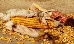 Waarom is maïs gezond? Lees hier de 13 voordelen