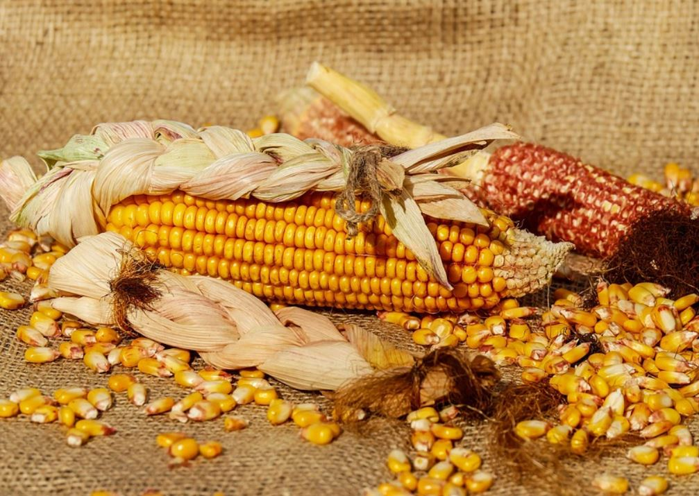 maïs gezond