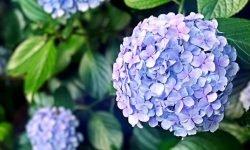 Hortensia: Betekenis en Symboliek