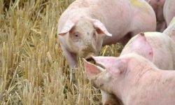 Dromen over varken: Wat betekent dat?