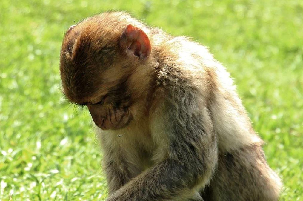 Dromen over apen