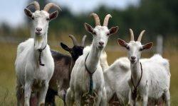 Dromen over geit, wat betekent dat?