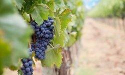 Dromen over druiven: Wat betekent dat?