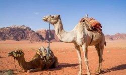 Dromen over kameel: Wat betekent dat?